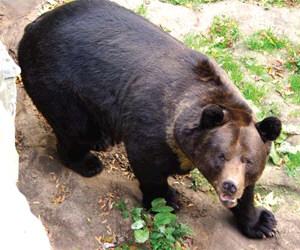 Червона книга України Ведмідь бурий